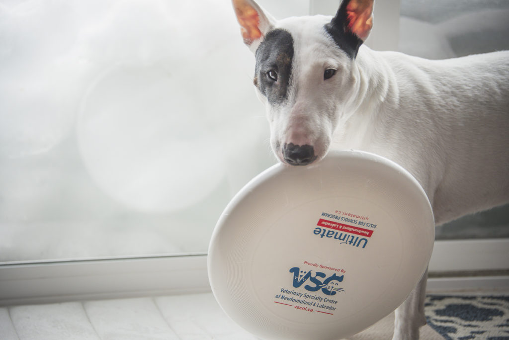 The photo shows a miniature English bulldog holding an ultimate frisbee disc in its mouth. The disc has the logos for Ultimate Newfoundland and Labrador and Veterinary Specialty Centre of Newfoundland and Labrador.
